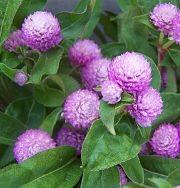 Gomphrena-lavender