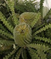 Protea, Banksia-green