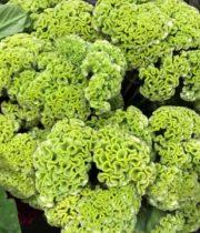 Celosia, Coxcomb-green