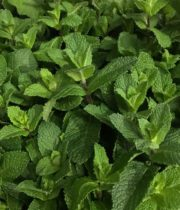 Mint-green, Herb