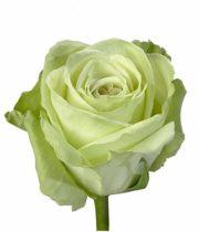 Rose, Green Tea-SA
