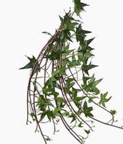 Ivy, Wedding-green