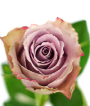 Rose, Grey Knight-SA