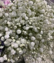 Gypsophila, Excellence-white (Baby's Breath)