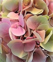 Hydrangea, Antique-green/pink