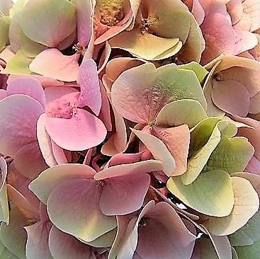 wholesale flowers   Hydrangea Antique- green pink