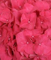 Hydrangea-hot Pink