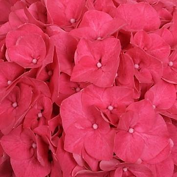wholesale hydrangea-hot pink
