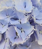 Hydrangea-light Blue