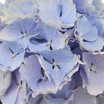 wholesale hydrangea- jumbo blue