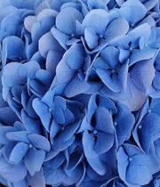 Hydrangea-dark Blue