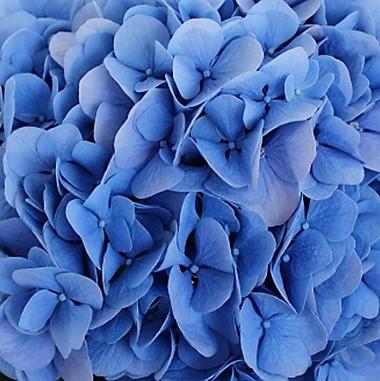 wholesale hydrangea-dark blue
