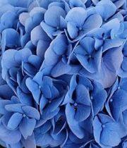 Hydrangea, CA-dark Blue