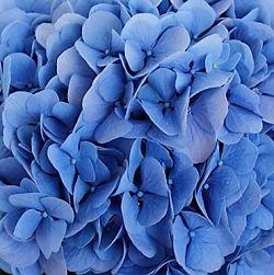 wholesale flowers | Hydrangea - dark blue