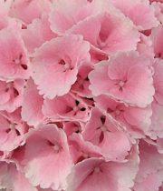 Hydrangea-light Pink