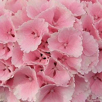 wholesale hydrangea-light pink