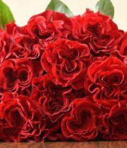 Rose, Hearts-SA