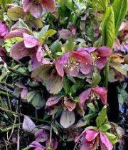 Helleborus-burgundy