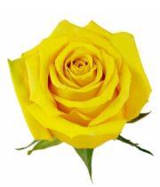Rose, High&Exotic-SA