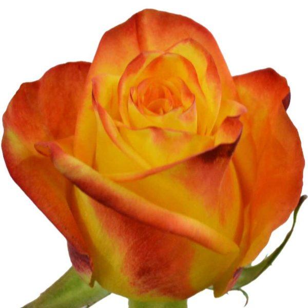 High&Yellow Rose