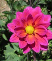 Dahlias, Field-hot Pink