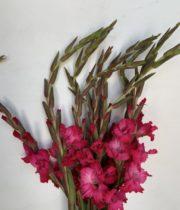 Gladiolus-hot Pink