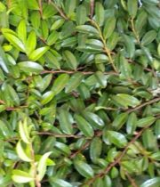 Huckleberry-green