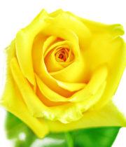 Rose, Hummer-SA