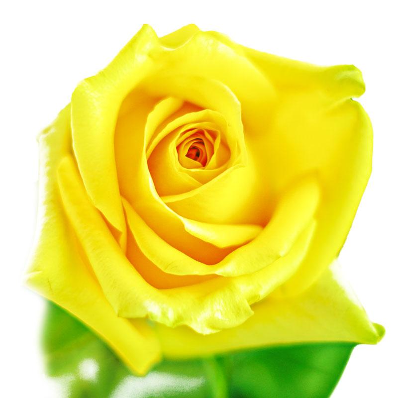 Hummer Rose
