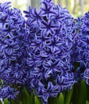 Hyacinth-blue
