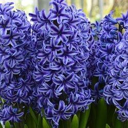 wholesale hyacinth-blue