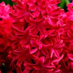 wholesale hyacinth-red