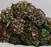 Hydrangea, Antique-green/purple