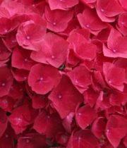 Hydrangea-red