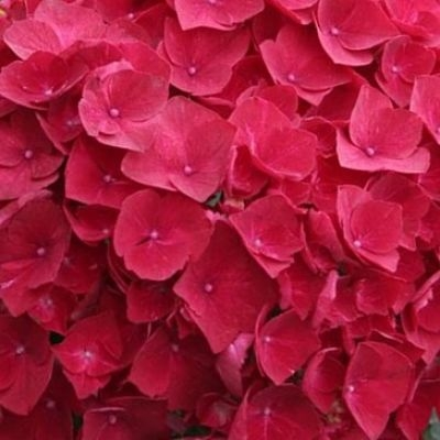 wholesale hydrangea-red