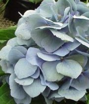 Hydrangea, Antique-blue