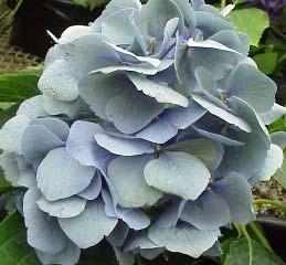wholesale flowers | Hydrangea Antique- blue