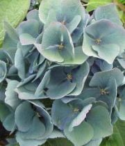 Hydrangea, Antique-green/blue