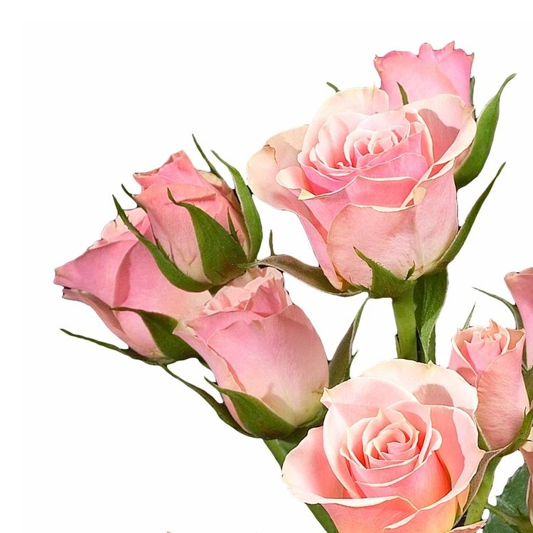 Ilse Spray Rose