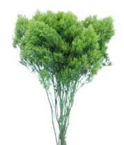 Trachelium, Jade-green