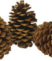 Pinecones, Jeffrey X50