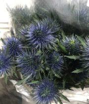 Eryngium, Jumbo-blue