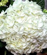 Hydrangea, Jumbo-white