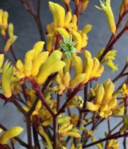 Kangaroo Paws-yellow