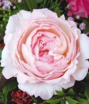 Rose Garden, Keira-CA