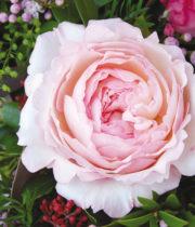 Blush Pink Keira Garden Roses, CA