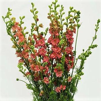 wholesale flowers | larkspur- dark pink