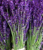 Lavender, Fresh, Herb