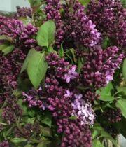 Lilac, California-purple