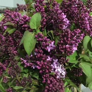 wholesale flowers | lilac-ca lavender